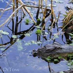 American Alligator floating in swamp