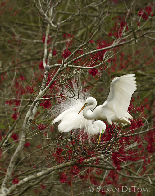 Great Egrets courting ritual among red buds