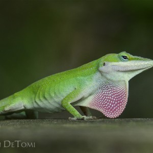 Carolina Anole showing off his breeding display