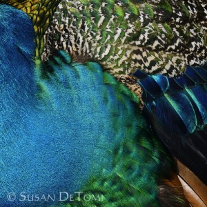 Abstract of striking patterns on back of peacock
