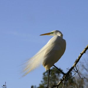 Great Egret in flowing plumage