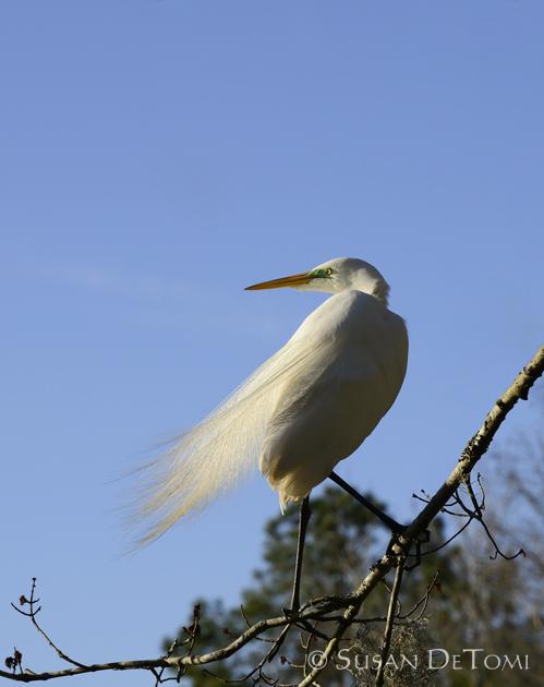 Great Egret in flowing plumage