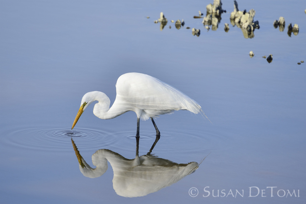 reflection of Great Egret in water near oyster bed