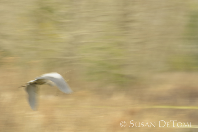 Panned shot of Great Blue Heron over marsh