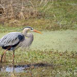 Great Blue Heron breeding display