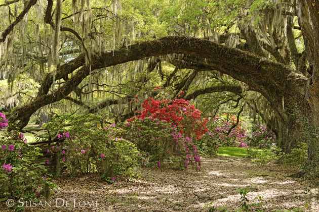 Glorious canopy of live oaks in Spring