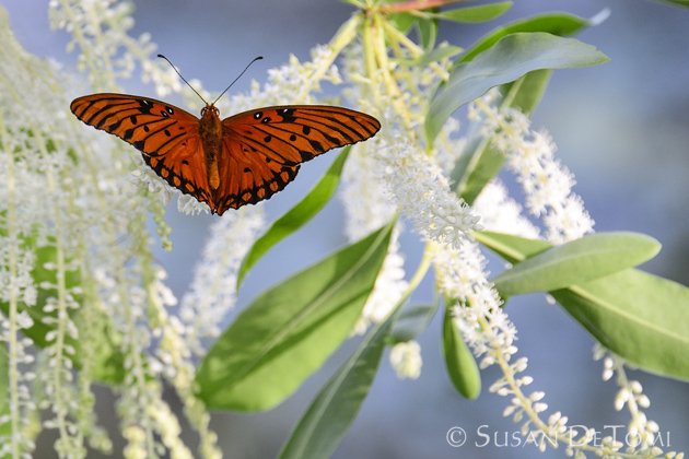 Gulf Fritillary lands on lacy white flowers