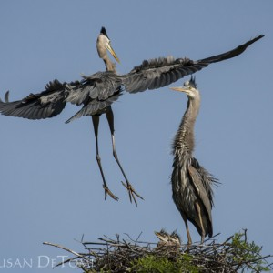Great Blue Heron male returns to the nest