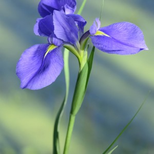 Wild iris overlooking swamp