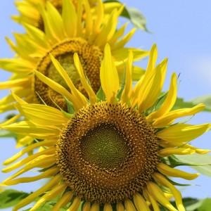 Three sunflowers turning to the sun