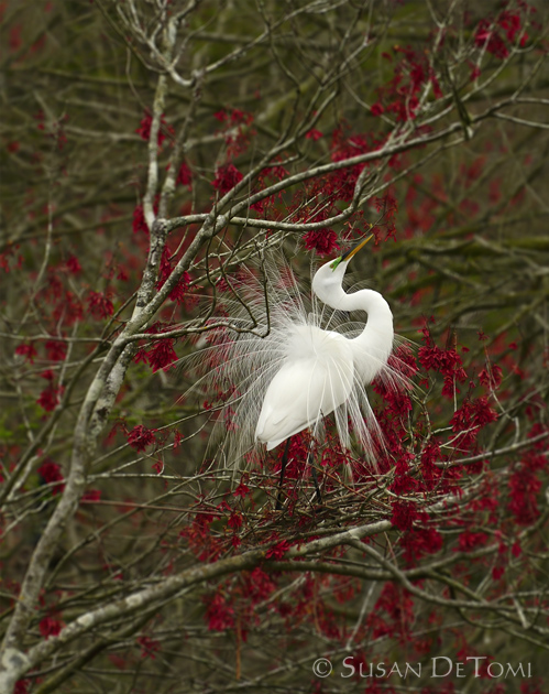Great Egret breeding display while searching for a mate