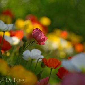 Icelandic poppies in many colors